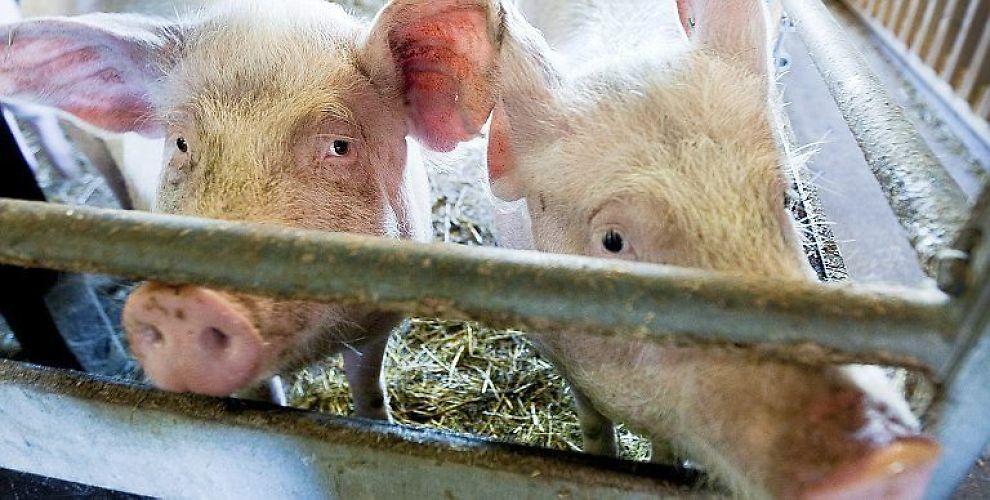<b>GRISEDYRT:</b> Baconprisen tar av i USA.