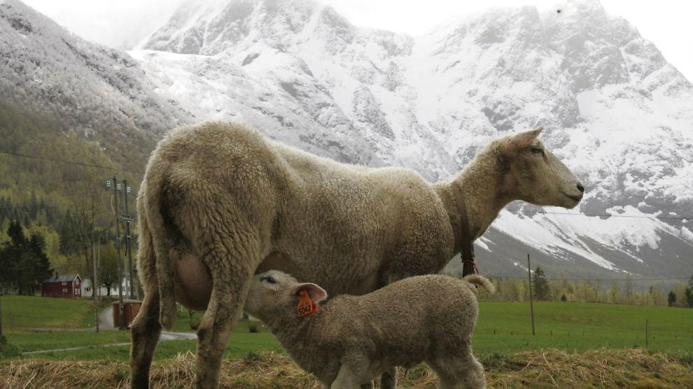 DUMPES UTE: Ull fra norske sauer blir sjelden brukt i «norske» ullprodukter.