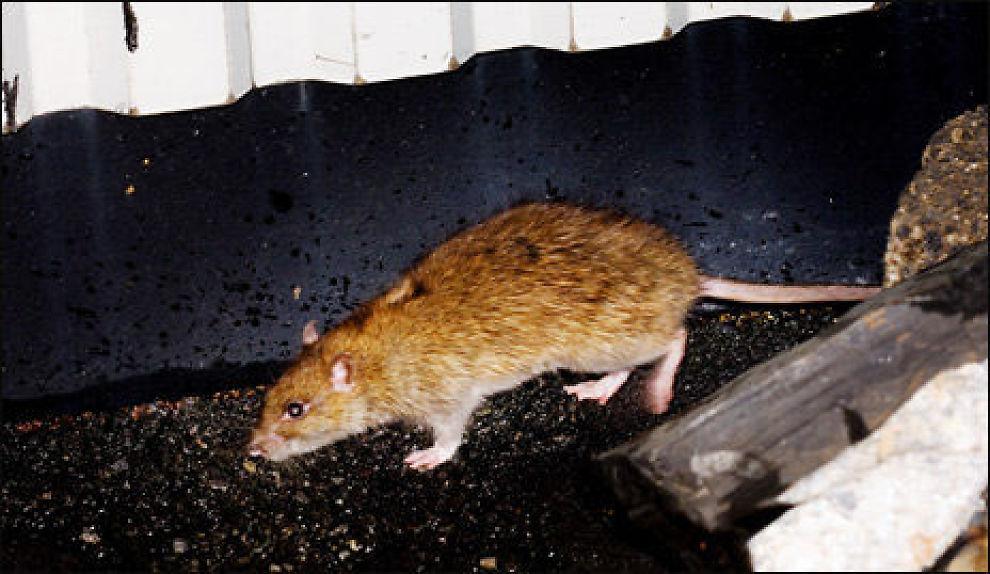VANT MOT ROTTENE: Boligen var invadert av rotter. Nå får kjøperen millionerstatning. Illustrasjonsfoto: Scanpix