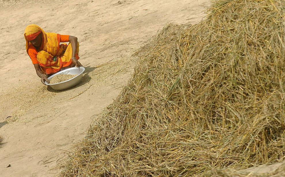 HØYE MATPRISER: Spekulasjon har fått mye av skylden for de høye matvareprisene i 2008 og 2011. Bildet viser en dame fra Bangladesh som høster inn ris da prisene på korn gikk i været i 2008.