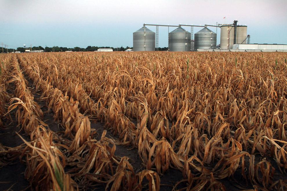 TØRKE: Store avlinger er tapt som følge av tørken i USA.