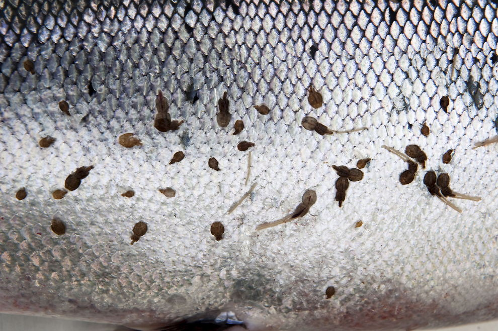 <p><b>SKAPER TRØBBEL:</b> Lakselus (bildet) har trolig redusert bestanden av sjøørret.</p>