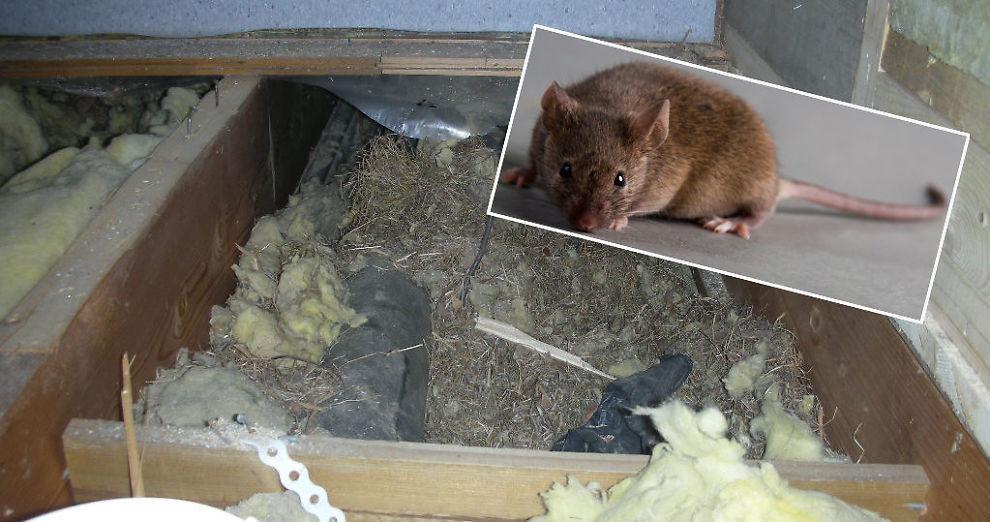 Hvor lenge lukter død rotte