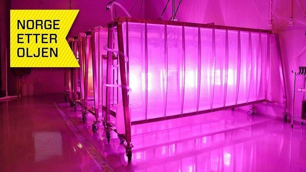 <p><b>ALGER:</b> Fotobioreaktorene er der algene produseres, og er utviklet og patentert av MicroA. Det lille lyset kommer fra LED-lamper, som gir algene best mulig lys.</p>