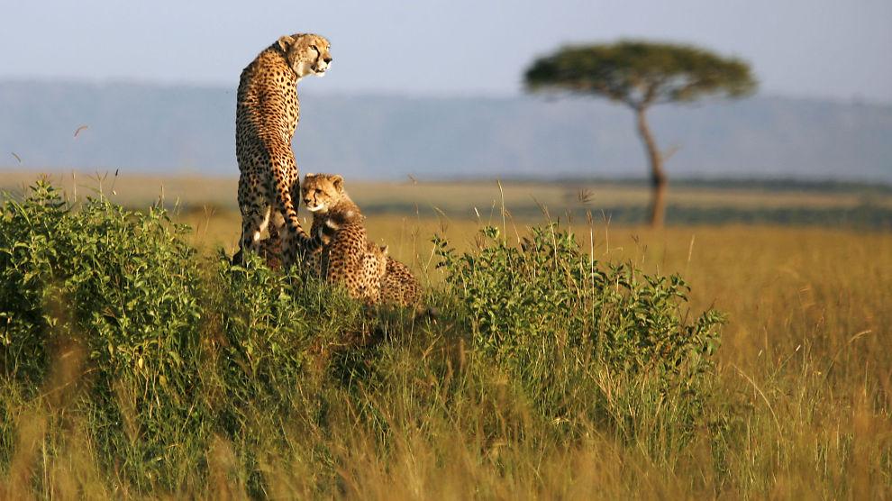 <p><b>SAFARI-INVESTERING:</b> Norfund investerer blant annet i et safariselskap i Tanzania og Kenya. Her en geopardmor med to barn i Masai Mara i Kenya.</p>